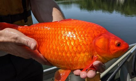 Stop Dumping Your Animal Goldfish Into Lakes